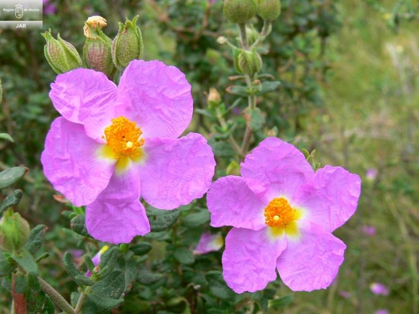 Cistus heterophyllus subsp.carthaginensis