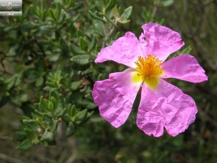 Cistus heterophyllus subsp. carthaginensis