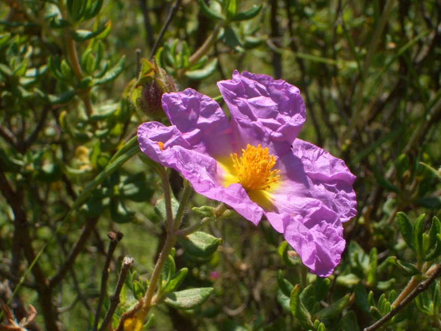 Proyecto para la conservación de Cistus heterophyllus subsp.carthaginensis