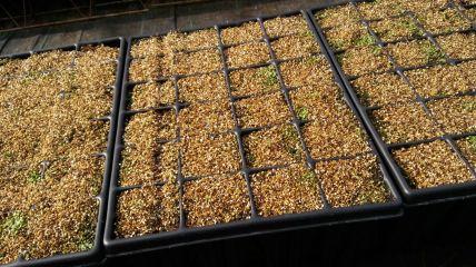 Cultivo en vivero de Jara de Cartagena