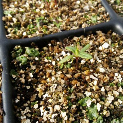 Detalle de plántula de Cistus heterophyllus subsp. carthaginensis