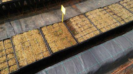Detalle de cultivo en vivero de la planta