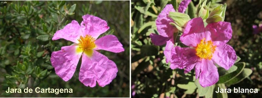 Principales diferencias morfológicas entre Cistus heterophyllus y Cistusalbidus
