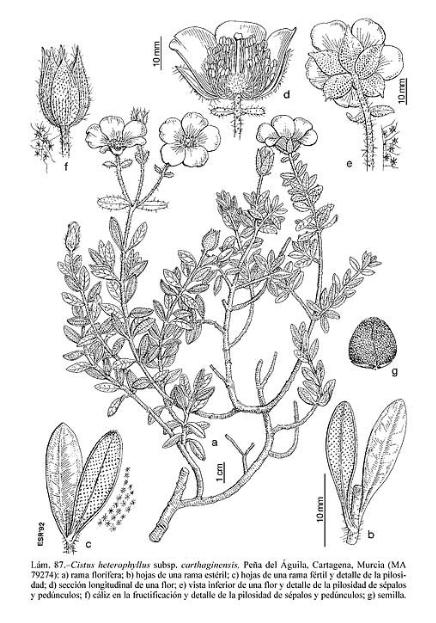 Libro flora iberica 02.jpg